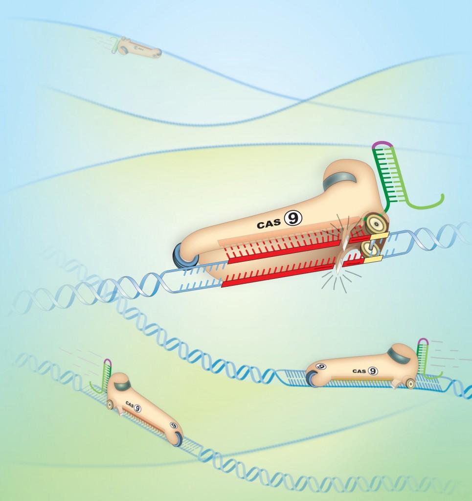 Cas9, uno strumento flessibile e versatile per il genome editing