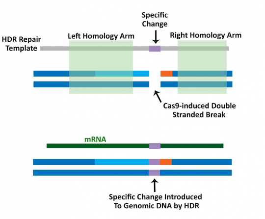 Cas9 Nuclease and Nickase