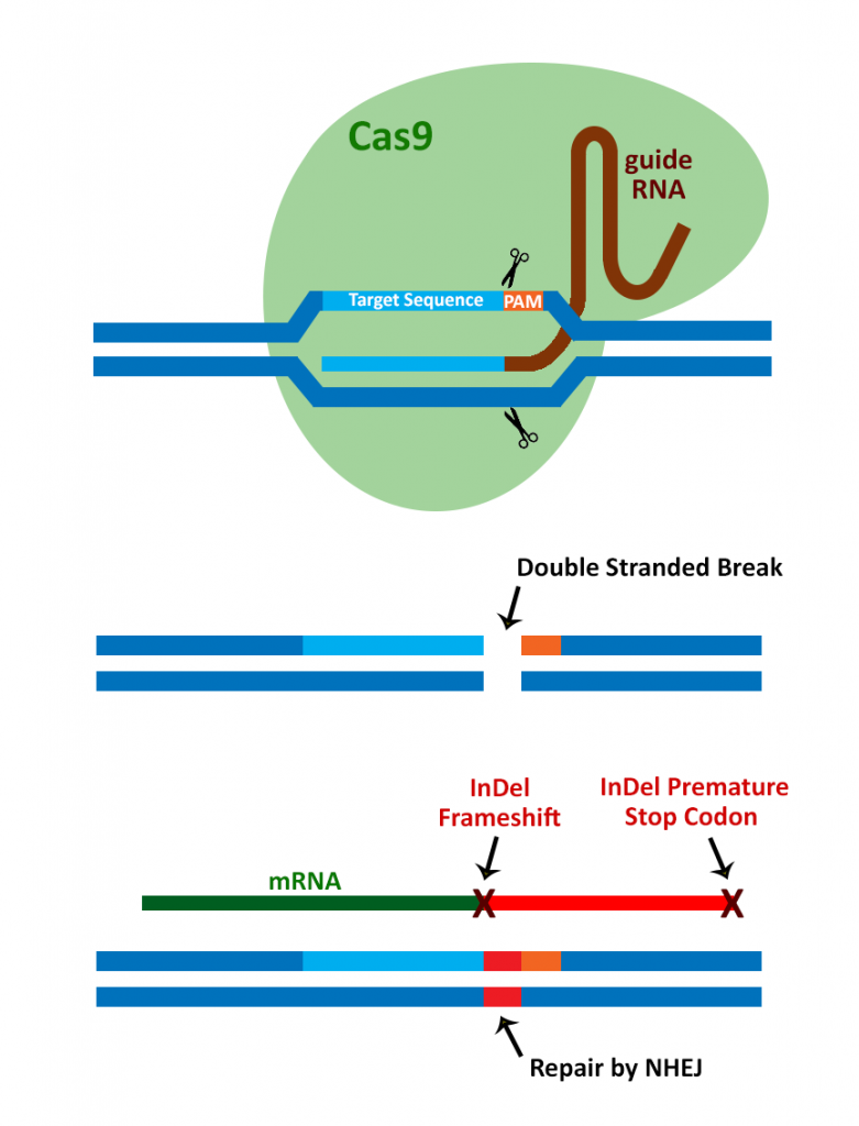 Cas9 nucleasi