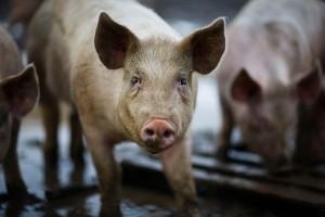 I maiali geneticamente modificati saranno coltivati in isolazione da patogeni esterni.