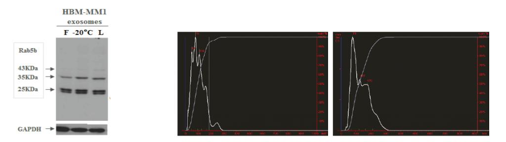 Figure 1 e 2 confrontano la gli effetti della liofilizzazione ed il congelamento a -20°C, mostrando l'assenza di differenza nell'espressione delle proteine a Western Blot (WB) e l'integrità esosomale a NanoSight, rispettivamente. 1. Western Blot – confronto di marcatori esosomali tra esosomi freschi (F), congelati (-20ºC) e liofilizzati (L). 2. Analisi comparativa NanoSight fatta su esosomi plasmatici frescamente purificati (riquadro a destra) e liofilizzati (riquadro a sinistra).